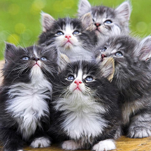 Persian Cats Wallpapers